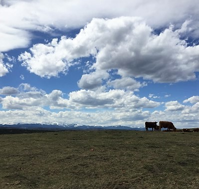 Cows grazing at CL Ranches