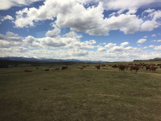 Cows grazing on grasslands at CL Ranches.
