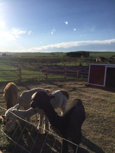 Granary Road alpacas