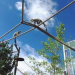 The lemurs have landed at the Calgary Zoo