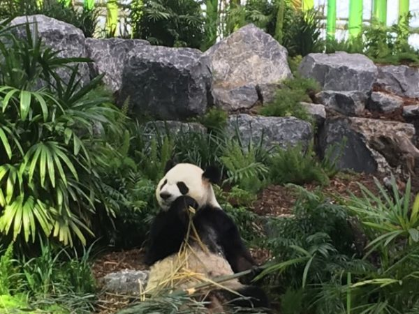 Adult panda at The Calgary Zoo