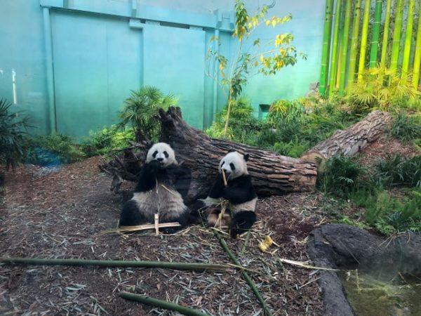 Baby pandas at Calgary Zoo