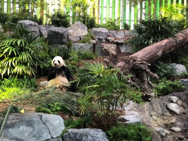 Adult panda at Calgary Zoo