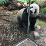 The most adorable pandas at The Calgary Zoo