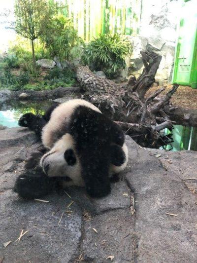 Sleeping giant panda