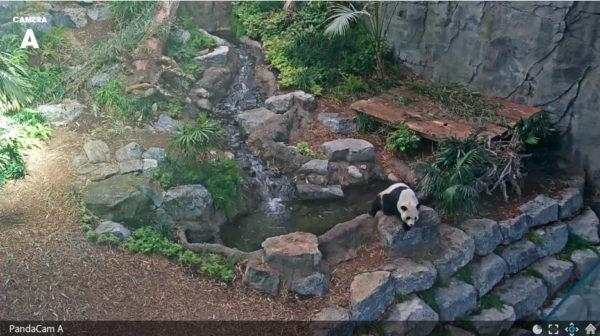 Still from Calgary Zoo PandaCam