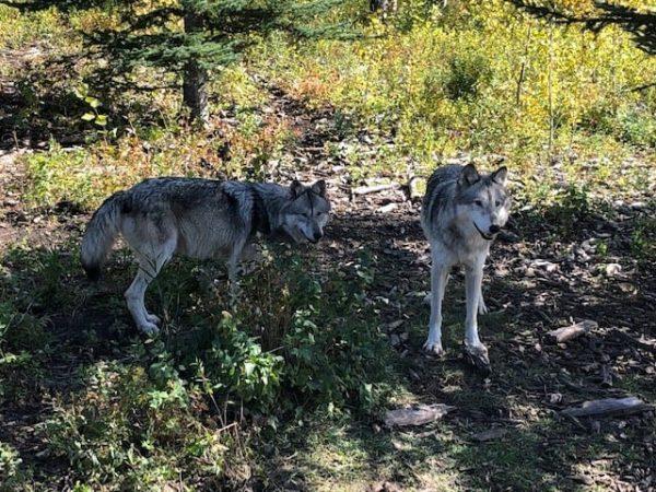 Pair of wolfdogs