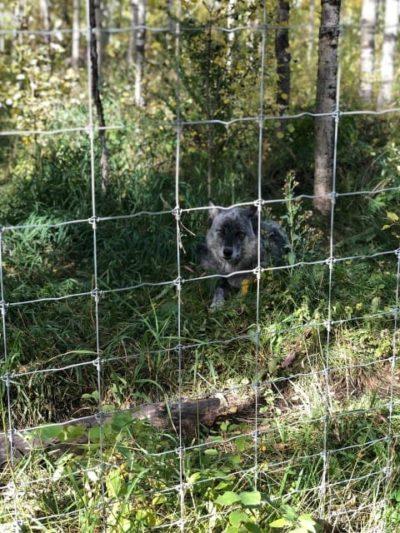 Dog resting inside enclosure at Yamnuska Wolfdog Sanctuary.
