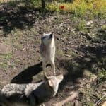 Yamnuska Wolfdog Sanctuary provides a safe haven for wolfdogs