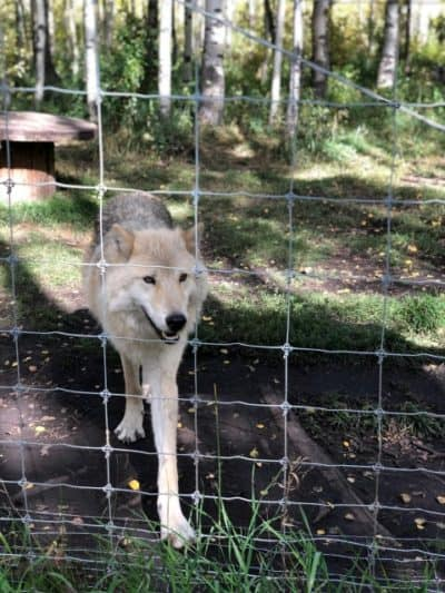 Wolfdog behind fence at Yamnuska Wolfdog Sanctuary
